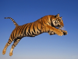 Tiger pictures HD