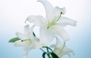 Lily Flowers High Quality Wallpapers