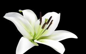 Lily Flowers PC Wallpapers