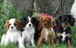 Cavalier King Charles Spaniel High Definition Wallpapers