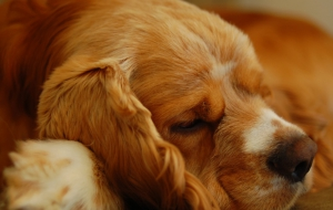 Cocker Spaniel High Quality Wallpapers