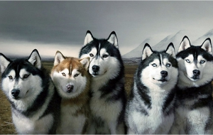 Husky High Definition Wallpapers