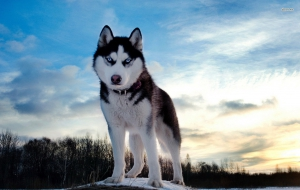 Husky Wallpaper