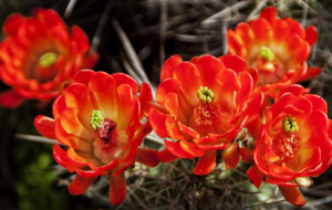Cactus Flowers High Quality Wallpapers