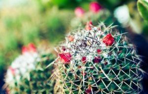Cactus Flowers Wallpapers HD