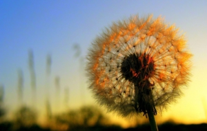 Dandelion Widescreen