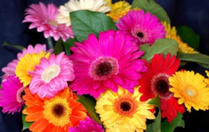 Gerbera High Quality Wallpapers