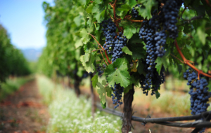 Grapes High Definition Wallpapers