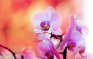 Orchid High Definition