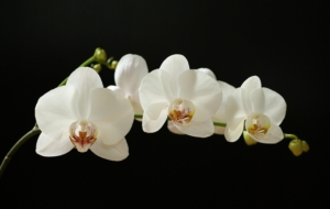 Orchid High Quality Wallpapers