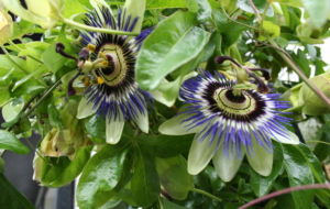 Passion Flower Background