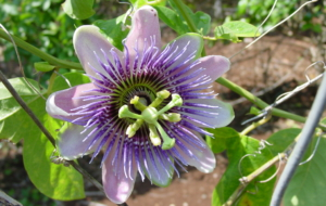 Passion Flower HD Background