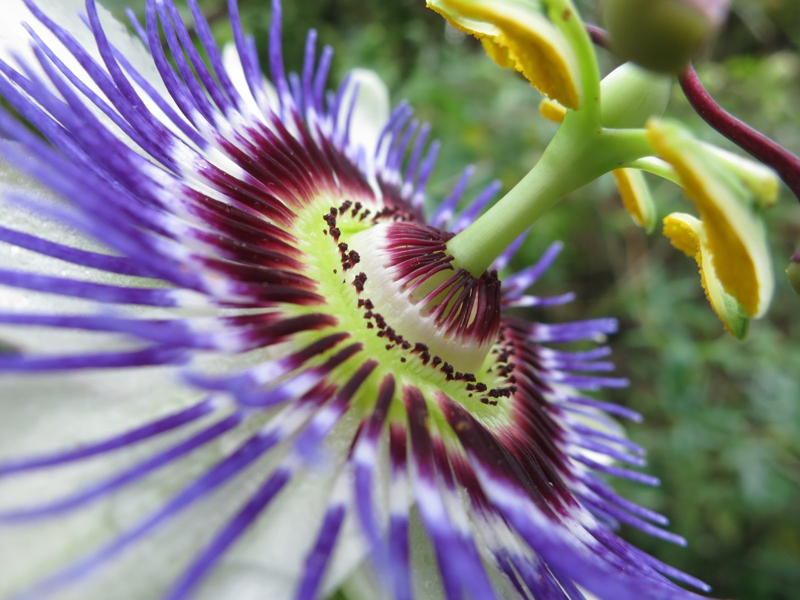 Passion Flower HD Wallpapers