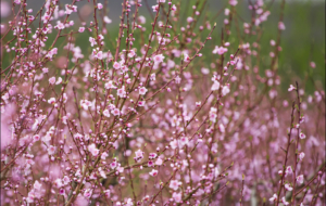 Peach Flowers High Quality Wallpapers
