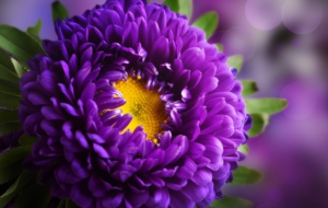Purple Flower High Definition Wallpapers