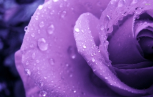 Purple Rose High Definition Wallpapers