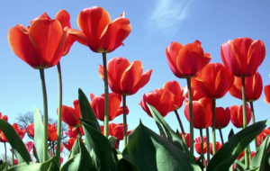 Red Tulips Widescreen