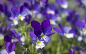 Violet Flowers High Definition
