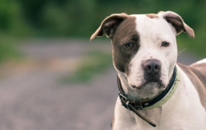 American Pit Bull Terrier Wallpapers HD