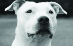 American Staffordshire Terrier High Definition