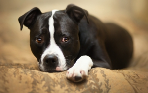 American Staffordshire Terrier For Deskto