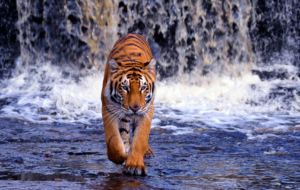 Bengal Tiger High Definition
