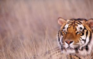 Bengal Tiger Wallpapers HD