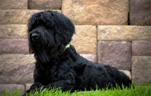 Black Russian Terrier Computer Wallpaper