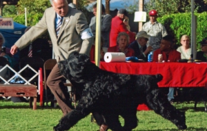 Black Russian Terrier HD