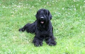 Black Russian Terrier HD Background