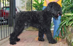 Black Russian Terrier HD Deskto