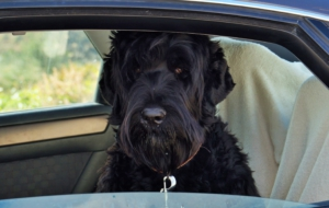 Black Russian Terrier HD Wallpaper