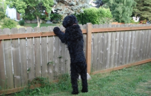 Black Russian Terrier High Definition Wallpapers