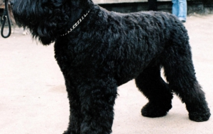 Black Russian Terrier Images