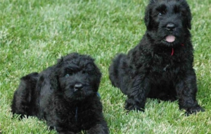 Black Russian Terrier Wallpaper