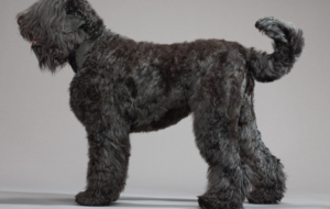 Black Russian Terrier Wallpapers HD