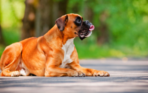 Boxer Dog High Definition