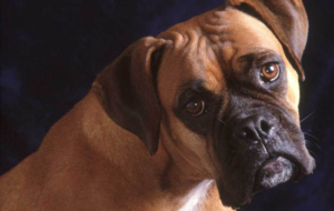 Boxer Dog High Definition Wallpapers