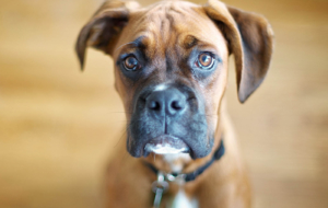Boxer Dog High Quality Wallpapers