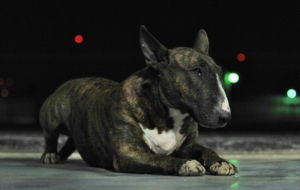 Bull Terrier High Quality Wallpapers