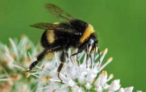 Bumble Bee High Definition Wallpapers