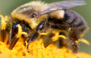 Bumble Bee Images