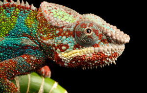 Chameleon High Quality Wallpapers
