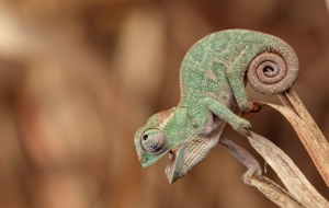 Chameleon Full HD