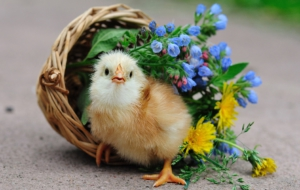 Chicken High Definition Wallpapers