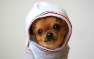 Chihuahua High Quality Wallpapers