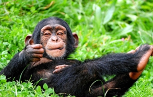 Chimpanzee Widescreen