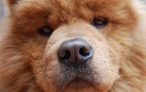 Chow Chow Background