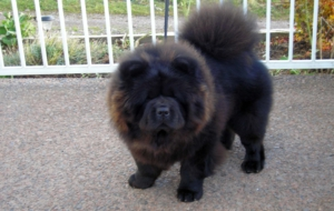Chow Chow High Definition