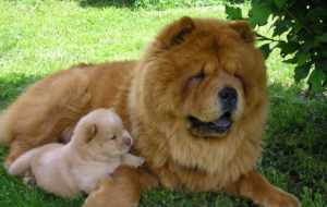 Chow Chow High Definition Wallpapers
